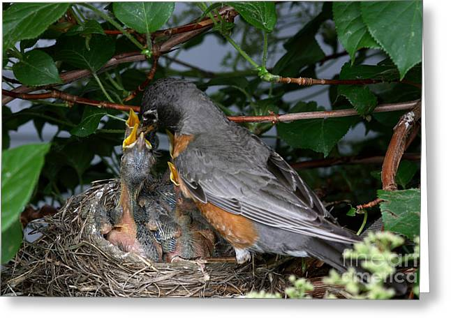 Robin Feeding Its Young Greeting Card by Ted Kinsman