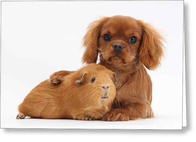Ruby Cavalier King Charles Spaniel Pup Greeting Card