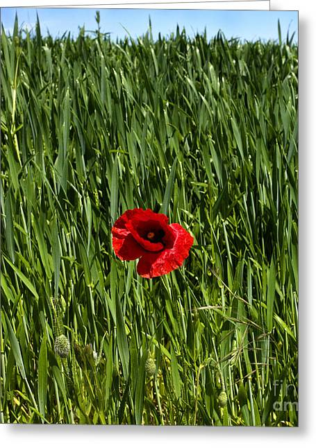 Single Poppy Flower  In A Field Of Wheat Greeting Card by Bernard Jaubert