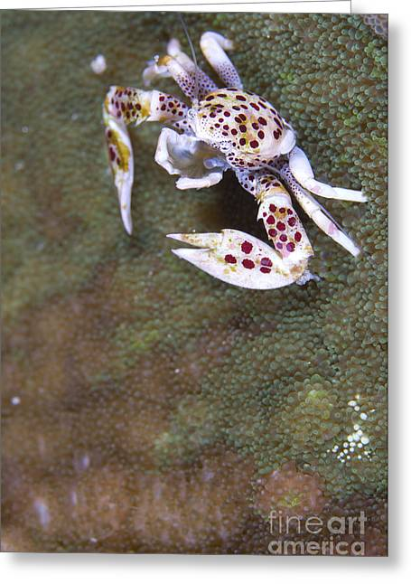 Spotted Porcelain Crab Feeding Greeting Card by Steve Jones