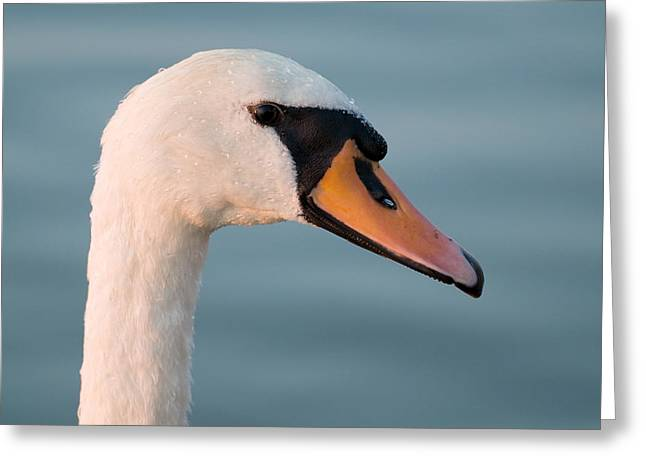 Swan Portrait Greeting Card by Odon Czintos