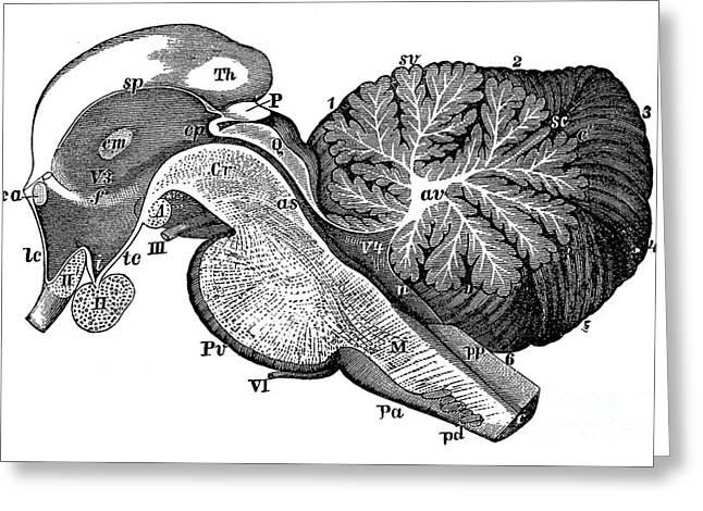 Third And Fourth Ventricles Of The Brain Greeting Card
