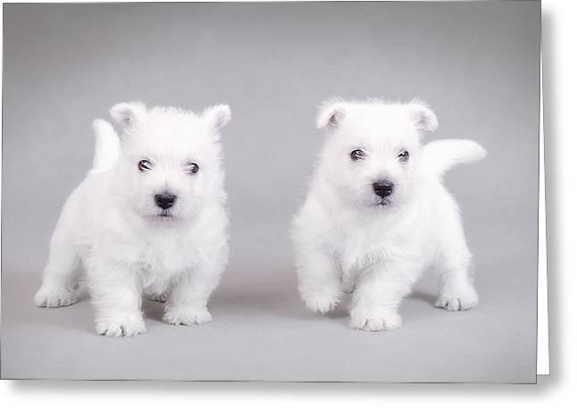 West Highland White Terrier Puppies Greeting Card by Waldek Dabrowski