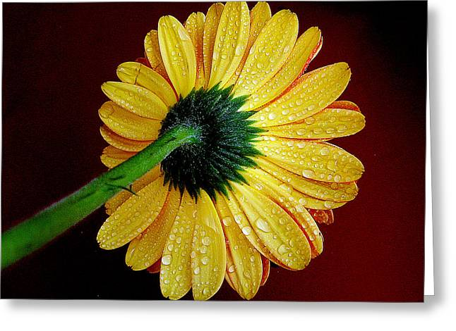 Greeting Card featuring the photograph Yellow Gerber by Elvira Ladocki