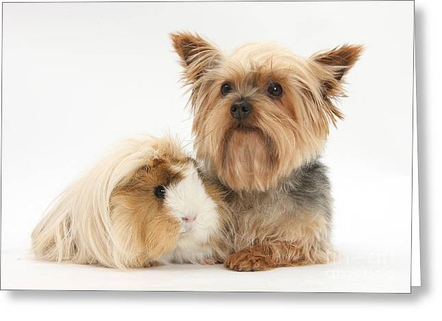 Yorkshire Terrier And Guinea Pig Greeting Card by Mark Taylor