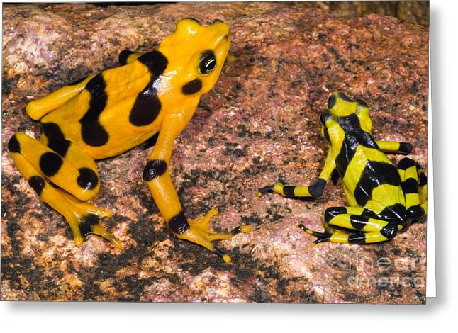 Harlequin Toad Greeting Card by Dante Fenolio