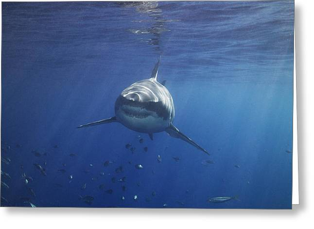 A Great White Shark Swims In Clear Greeting Card