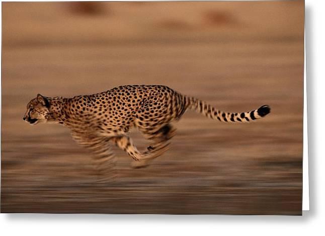 An African Cheetah Acinonyx Jubatus Greeting Card by Chris Johns