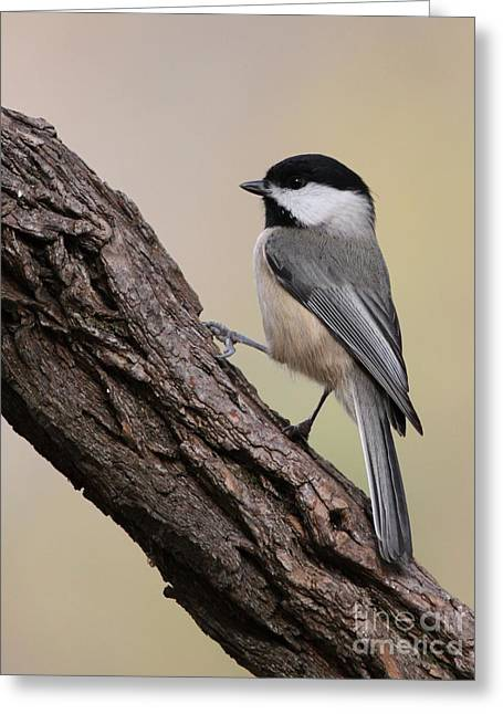Greeting Card featuring the photograph Black-capped Chickadee by Jack R Brock