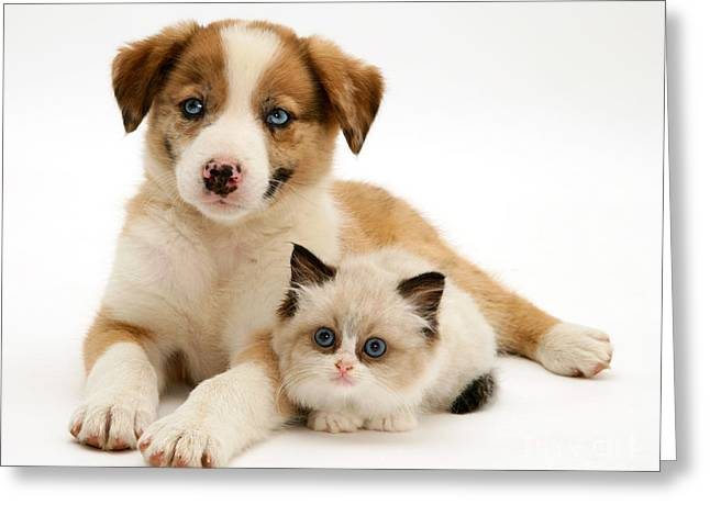 Border Collie And Birman-cross Kitten Greeting Card by Jane Burton