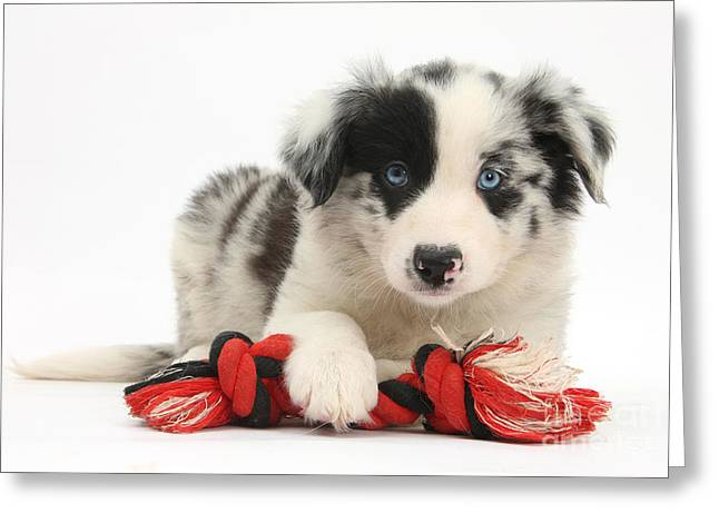 Border Collie Pup Greeting Card by Mark Taylor
