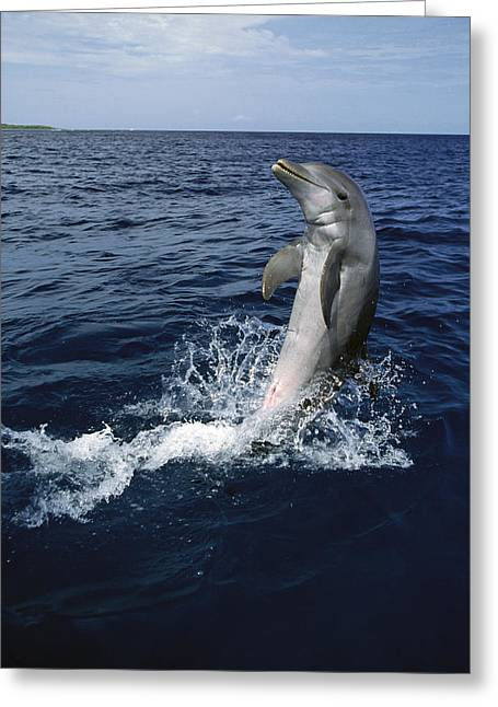 Bottlenose Dolphin Tursiops Truncatus Greeting Card by Konrad Wothe