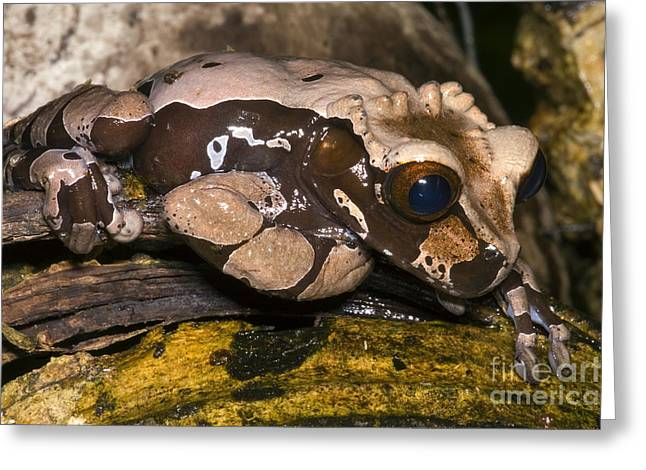 Crowned Tree Frog Greeting Card by Dante Fenolio