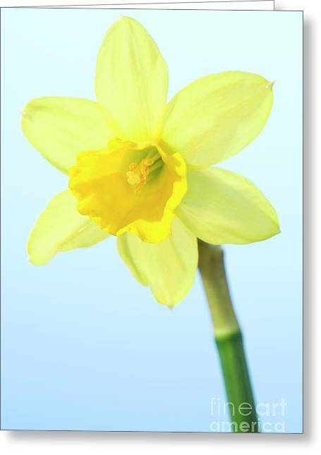 Daffodil (narcissus Sp.) Greeting Card by Lawrence Lawry