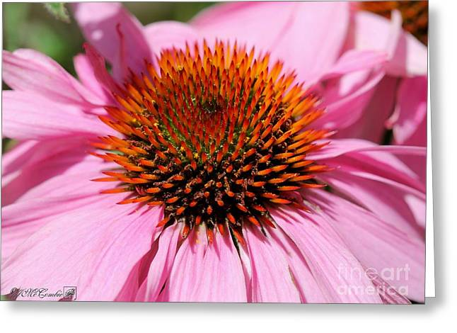 Echinacea Purpurea Or Purple Coneflower Greeting Card by J McCombie