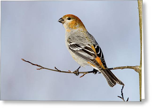 Female Pine Grosbeak Greeting Card