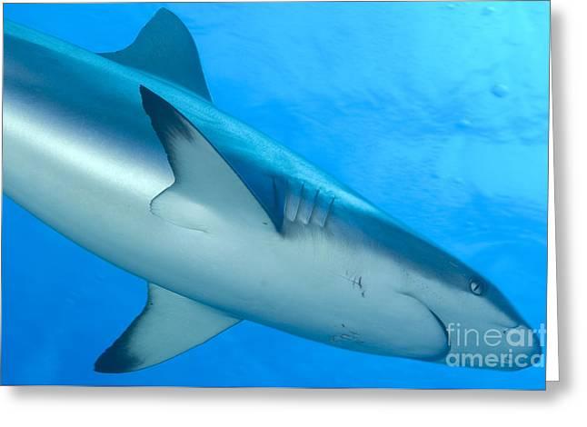 Gray Reef Shark. Papua New Guinea Greeting Card by Steve Jones
