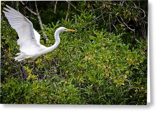 Great Egret Greeting Card by Mike Rivera