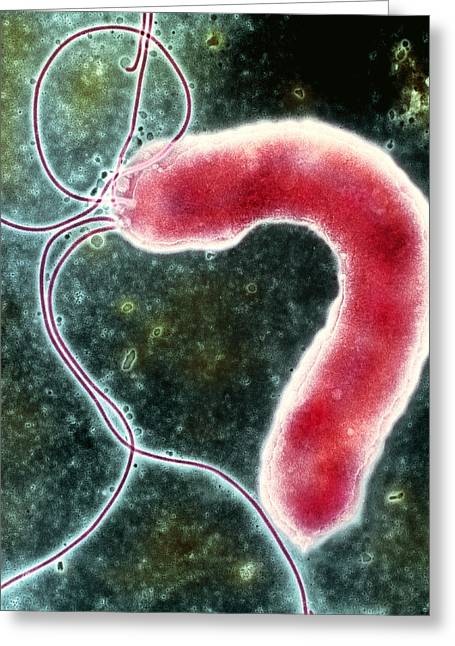 Helicobacter Pylori Bacterium Greeting Card