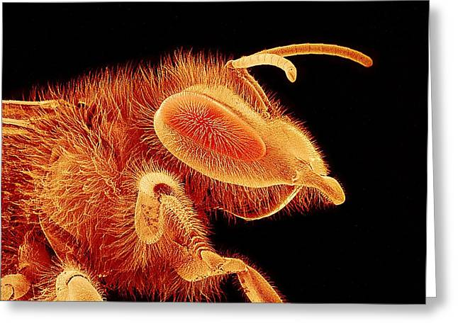 Honey Bee, Sem Greeting Card by Susumu Nishinaga