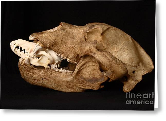Kodiak Bear Skull With Coyote Skull Greeting Card by Ted Kinsman