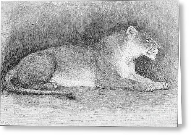 Lion Greeting Card by Granger