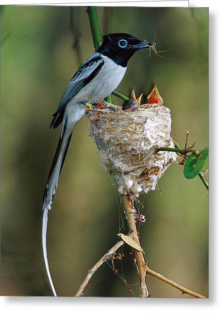 Madagascar Paradise Flycatcher Greeting Card by Cyril Ruoso