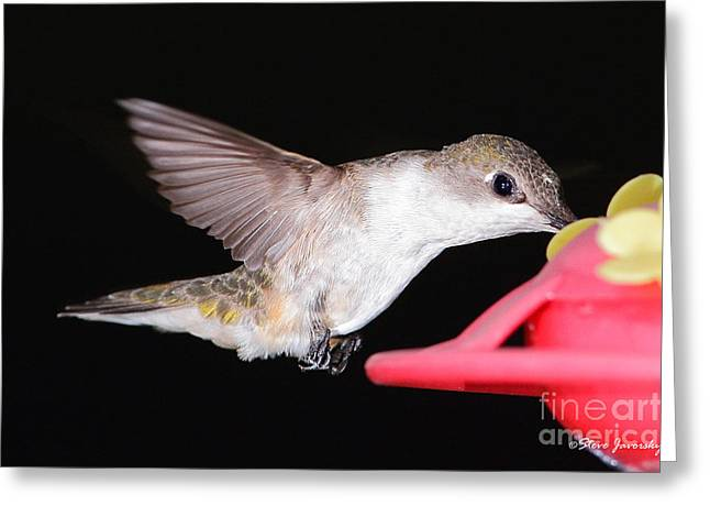 Ruby Throated Hummingbird Greeting Card by Steve Javorsky