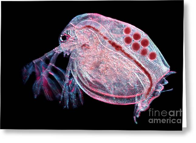 Water Flea Daphnia Magna Greeting Card by Ted Kinsman