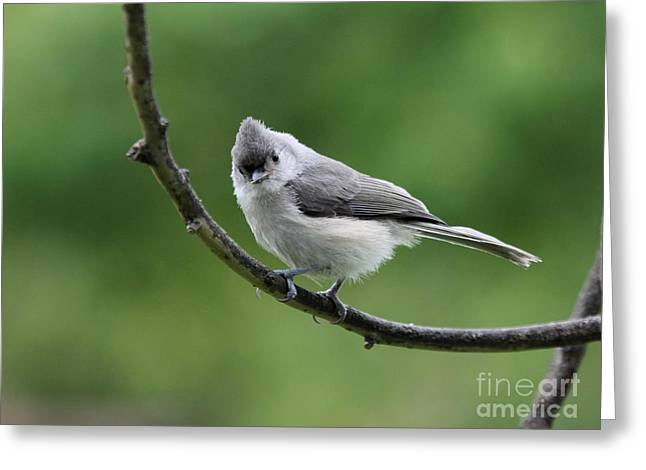 Tufted Titmouse Greeting Card by Jack R Brock