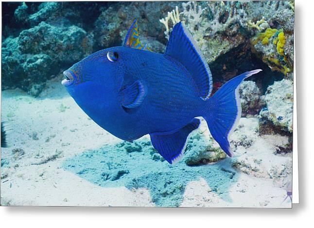 Blue Triggerfish Greeting Card by Georgette Douwma