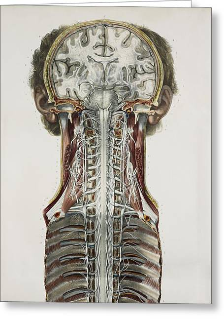 Brain And Spinal Cord, 1844 Artwork Greeting Card by