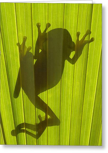 Chachi Tree Frog Hyla Picturata Greeting Card by Pete Oxford