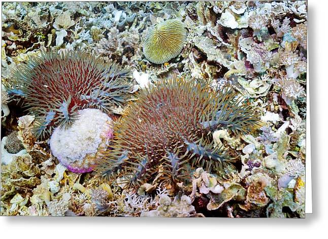 Crown Of Thorns Starfish Greeting Card by Georgette Douwma