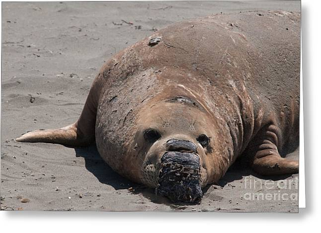 Elephant Seal Colony On Big Sur  Greeting Card by Carol Ailles