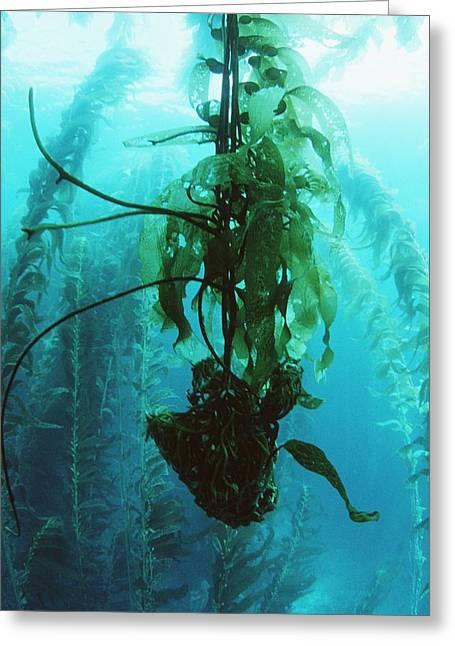 Giant Kelp Greeting Card by Georgette Douwma