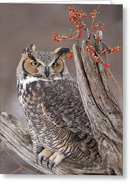 Great Horned Owl Greeting Card by Cindy Lindow