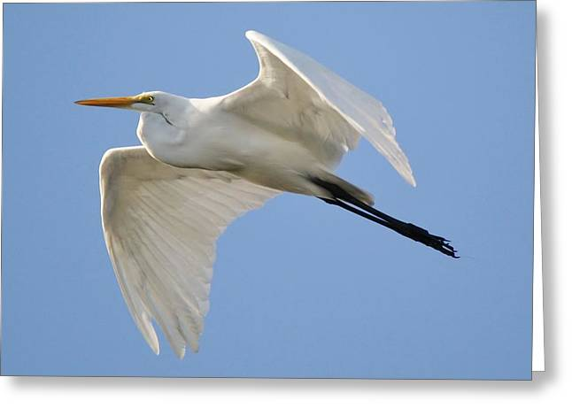 Great White Egret Greeting Card by Paulette Thomas