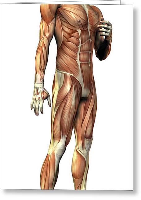 Male Musculature Greeting Card by Friedrich Saurer