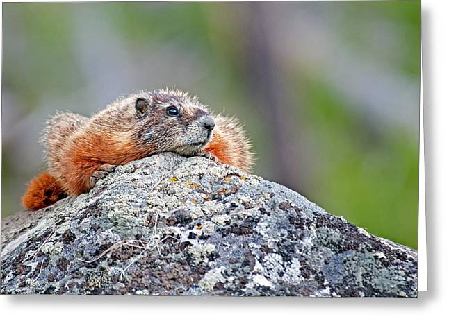 Marmot Greeting Card by Elijah Weber