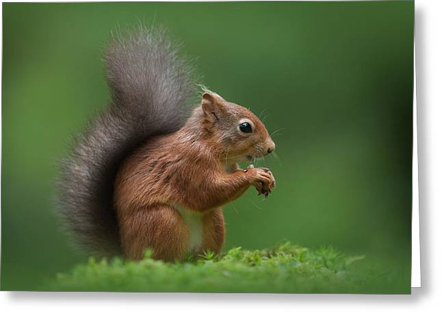Red Squirrel Greeting Card by Andy Astbury