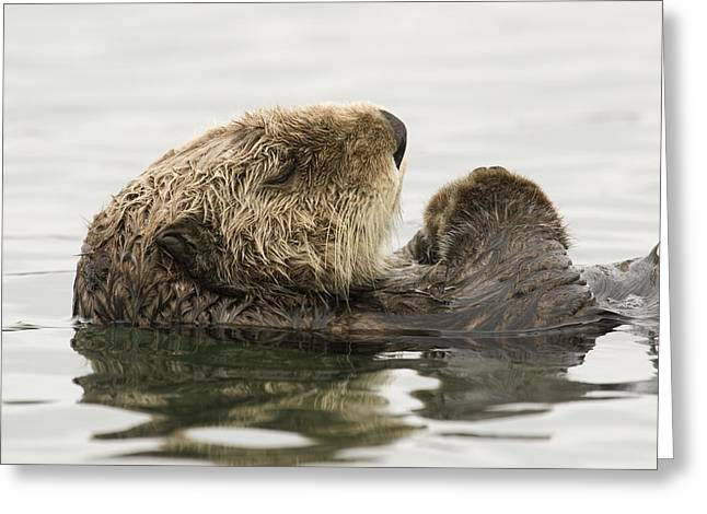 Sea Otter Elkhorn Slough Monterey Bay Greeting Card by Sebastian Kennerknecht