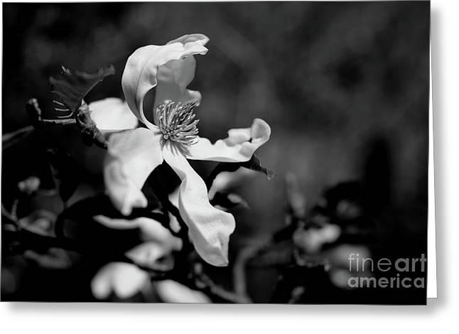 White Magnolia Greeting Card by Dariusz Gudowicz