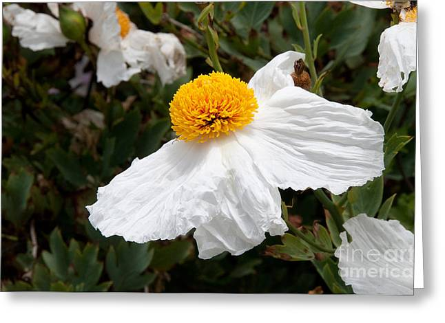 Along Big Sur Greeting Card by Carol Ailles