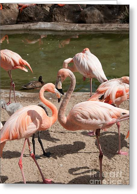 Flamingos Greeting Card by Carol Ailles