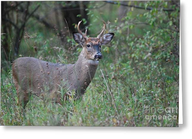 6 Point Buck Greeting Card by David Murray