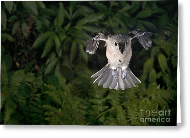 Tufted Titmouse In Flight Greeting Card by Ted Kinsman