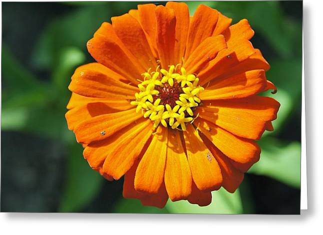 Zinnia  Greeting Card by Gornganogphatchara Kalapun
