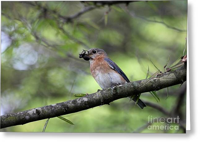 Eastern Bluebird Greeting Card by Jack R Brock