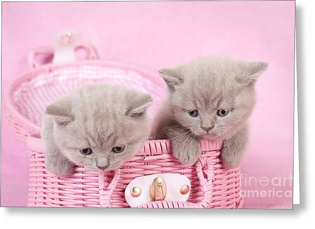 British Shorthair Kitten Greeting Card by Waldek Dabrowski
